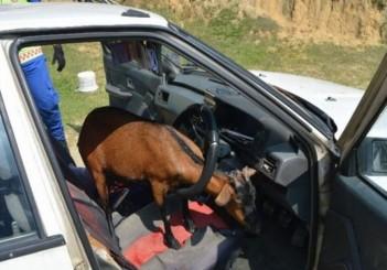 Goat in car_Malaysia_2018 (2)