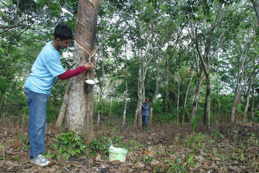The traditional way of rubber tapping is not under threat at the moment.