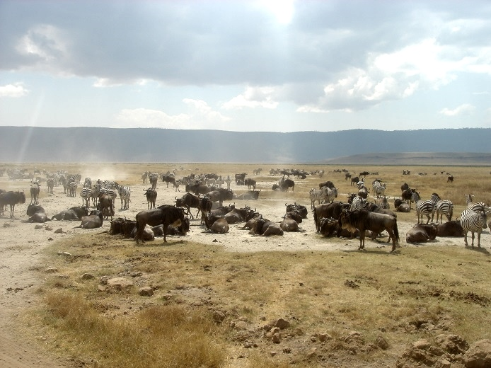 wildebeest in the crater