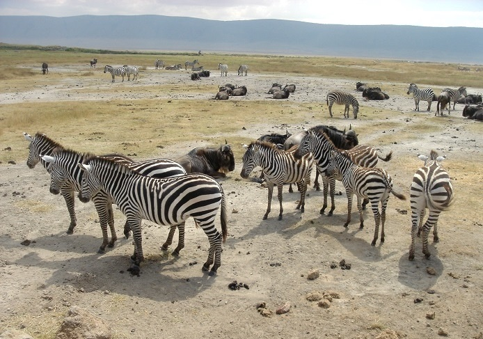 African Safari Misadventures - zebras
