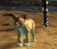 gw2-mini-lion-cub-pet1