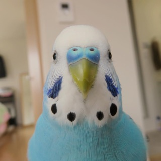 The Classic Budgie
