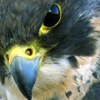 Falcon Heart