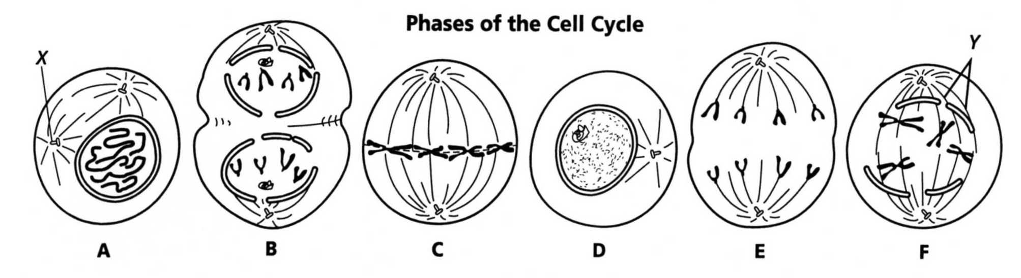 worksheet Mitosis Worksheet Diagram Identification Answers – Phases of the Cell Cycle Worksheet