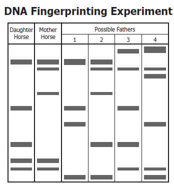 Worksheet preview by christy hogston blended worksheets wizer the diagram shows dna fingerprints from a daughter horse the mother horse and four possible fathers which horse is most likely the father ccuart Gallery