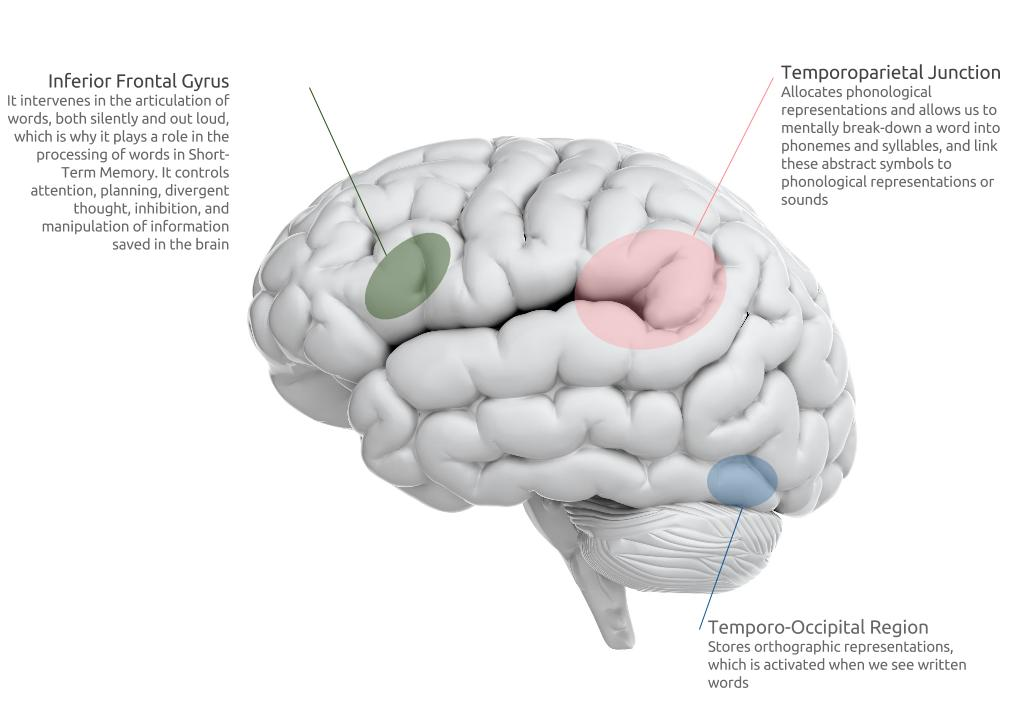 Brain and dyslexia. Brain processes in dyslexia