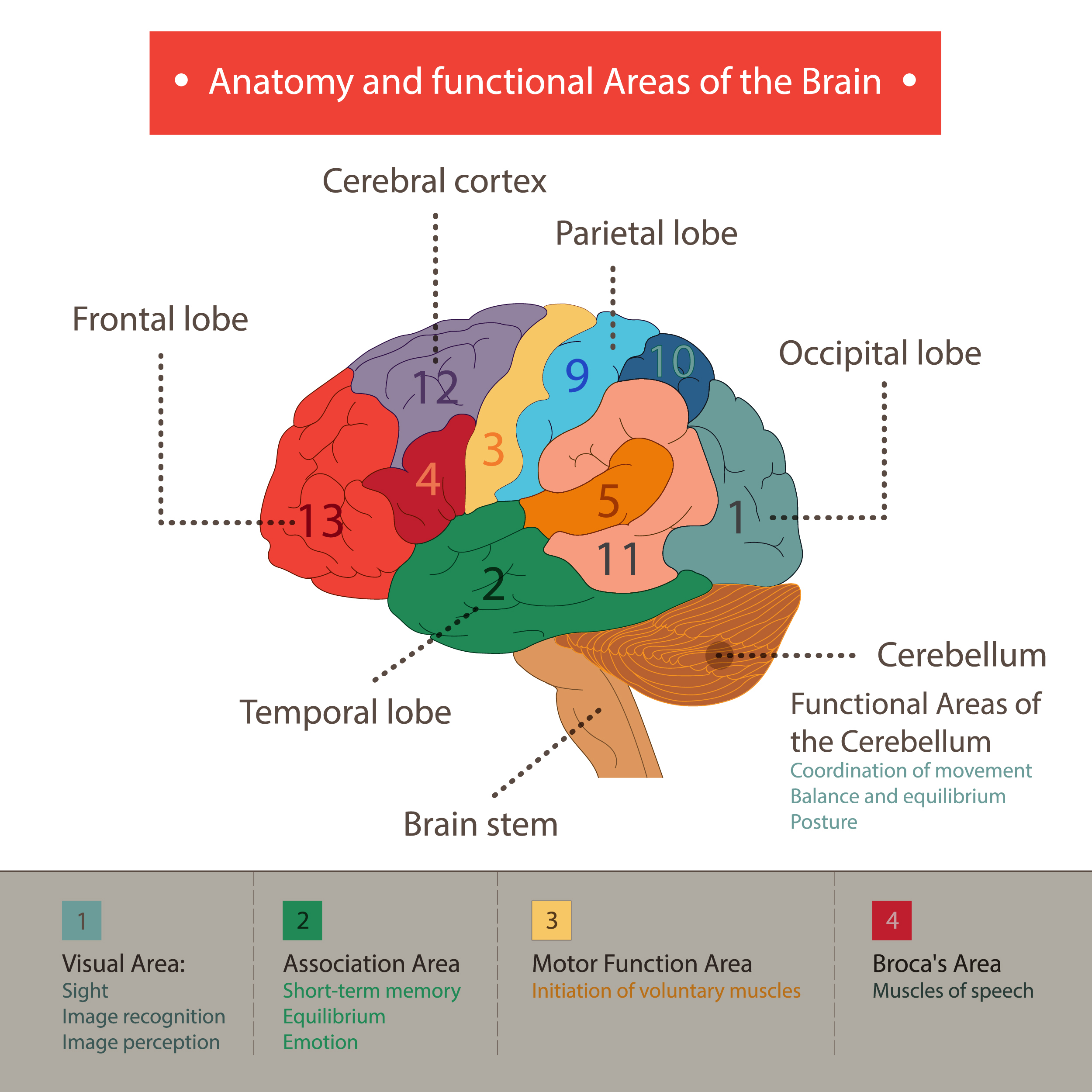 human brain functions and cognifit, Human Body