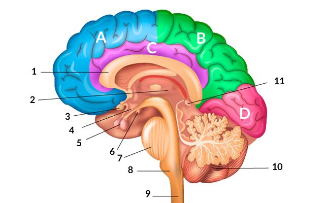 تعريف الدماغ- ما الدماغ وأجزاءه