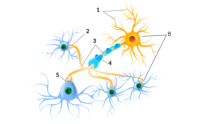 What is the brain- Neurons
