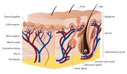A estrutura da pele
