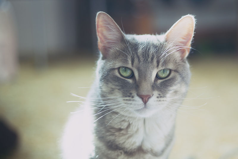 cat-pictures-sweet-cute-green-eyed-tabby