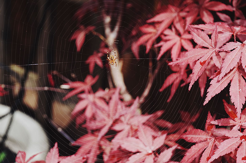 spider-web-red-japanese-maple