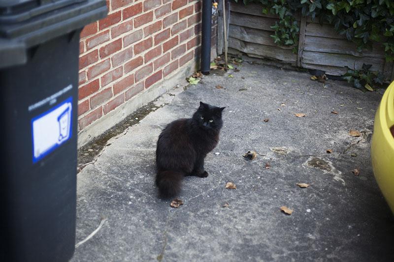black-cat-martha-green-eyes-fluffy-pet
