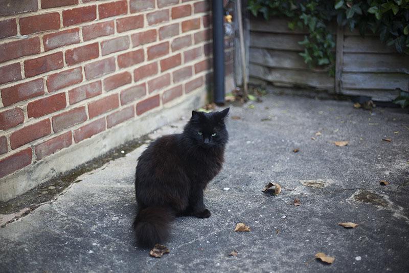 fluffy-cat-driveway-martha-black-fluffy-kitty