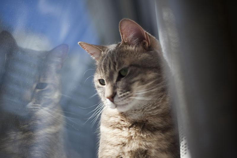 gorgeous-male-cat-avery-pretty-portrait-winter-blue