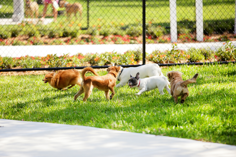 Dog Park with many little dogs playing together