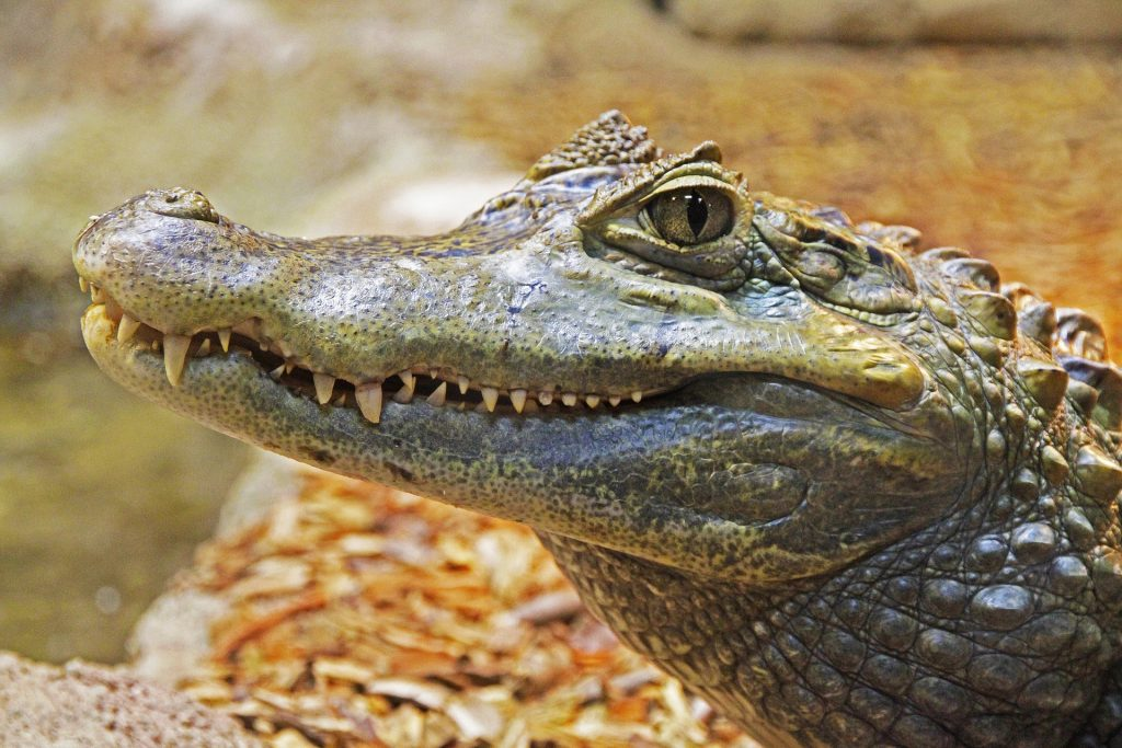 picture of an alligator