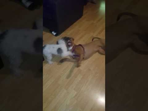 Pit Bull vs Poodle