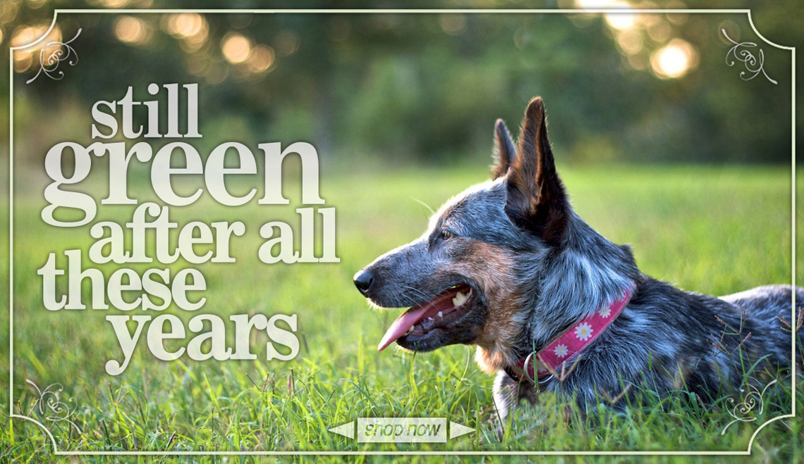 Still green after all these years.  Cattle dog in field wearing hemp collar.