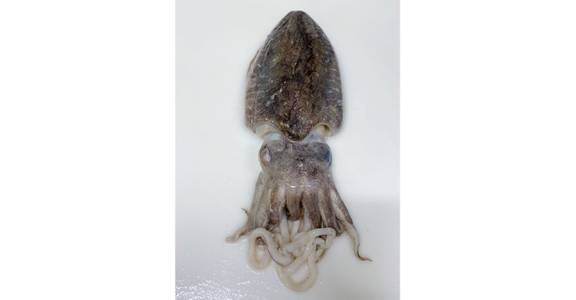 Cuttlefish, lb. from Global Market in Madison, WI