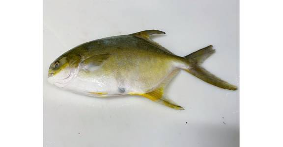 Golden Pompano, lb. from Global Market in Madison, WI