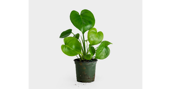 Monstera Deliciosa from Red Square Flowers in Madison, WI