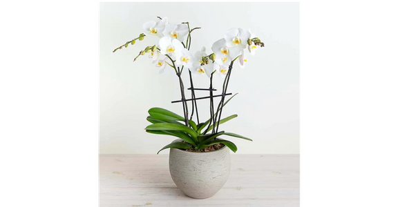 Phalaenopsis Orchid from Red Square Flowers in Madison, WI