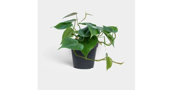 Philodendron Cordatum from Red Square Flowers in Madison, WI