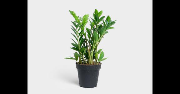 ZZ Plant (Zamioculcas Zamiifolia) from Red Square Flowers in Madison, WI