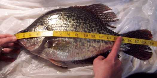 a fish that is being measured at 19 inches long