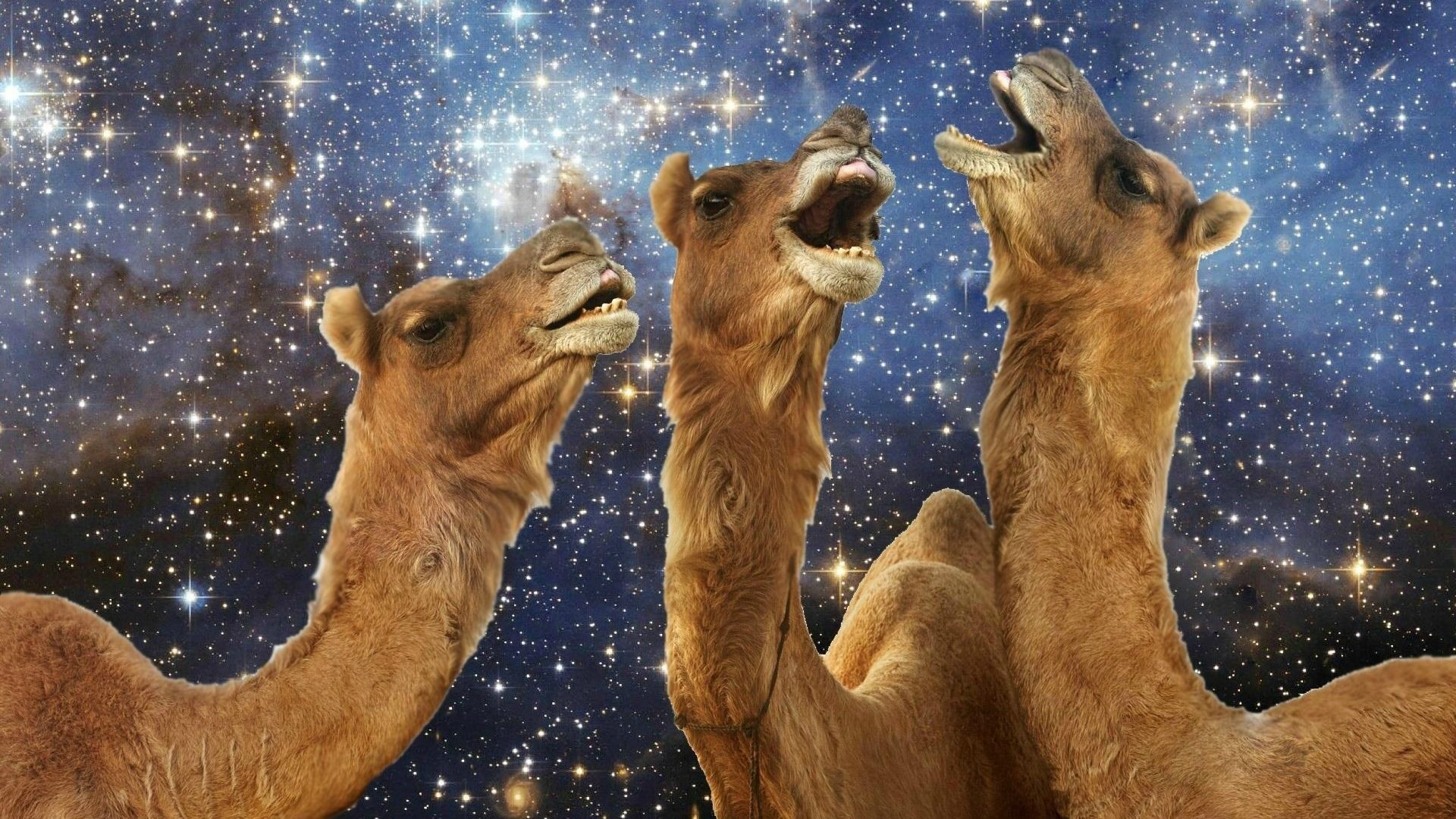 Camels celebrate Saudi botox win.