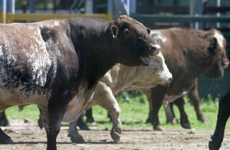 Bull smiling at a farm where semen tanks exploded
