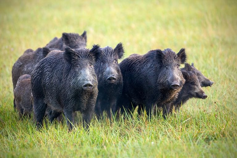 30 - 50 feral hogs destroyed $22,000 of cocaine.