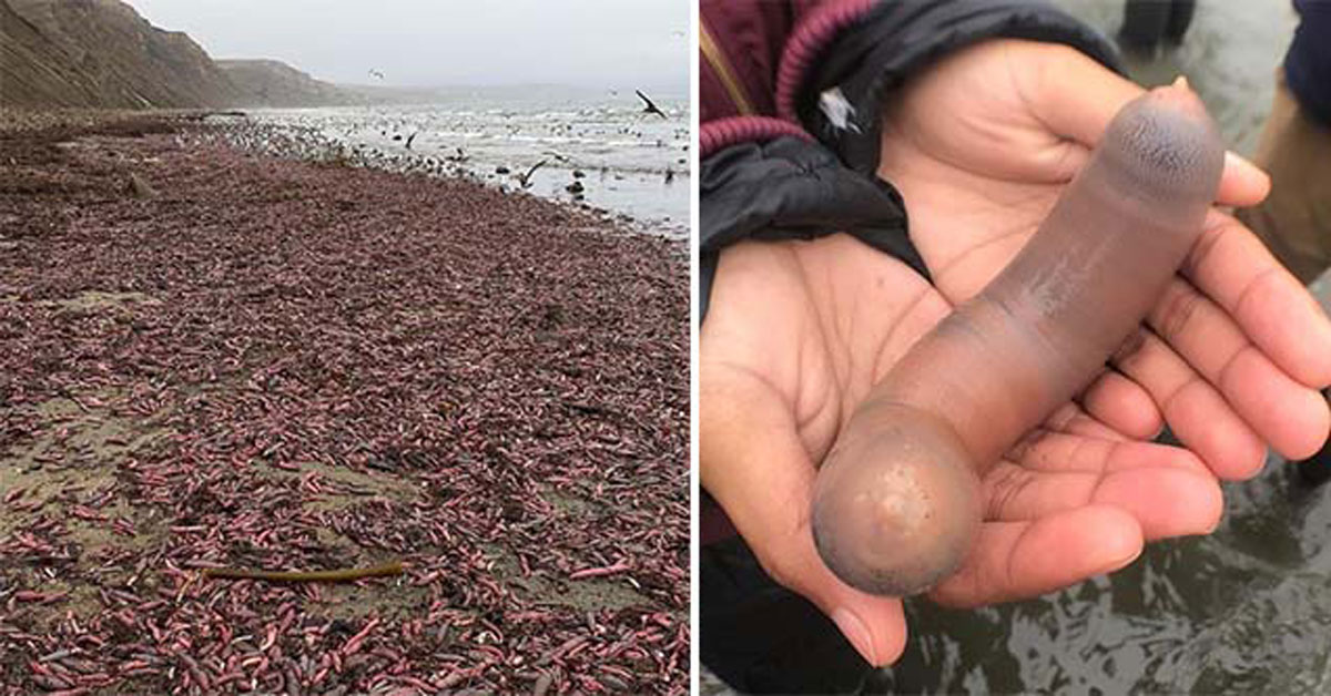 Penis fish wash up on to a beach in California.