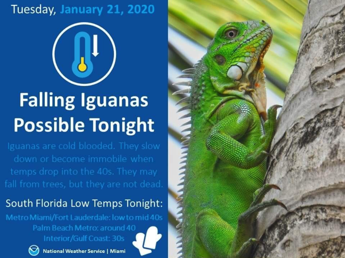warning sign from florida about iguanas falling off trees due to the weather