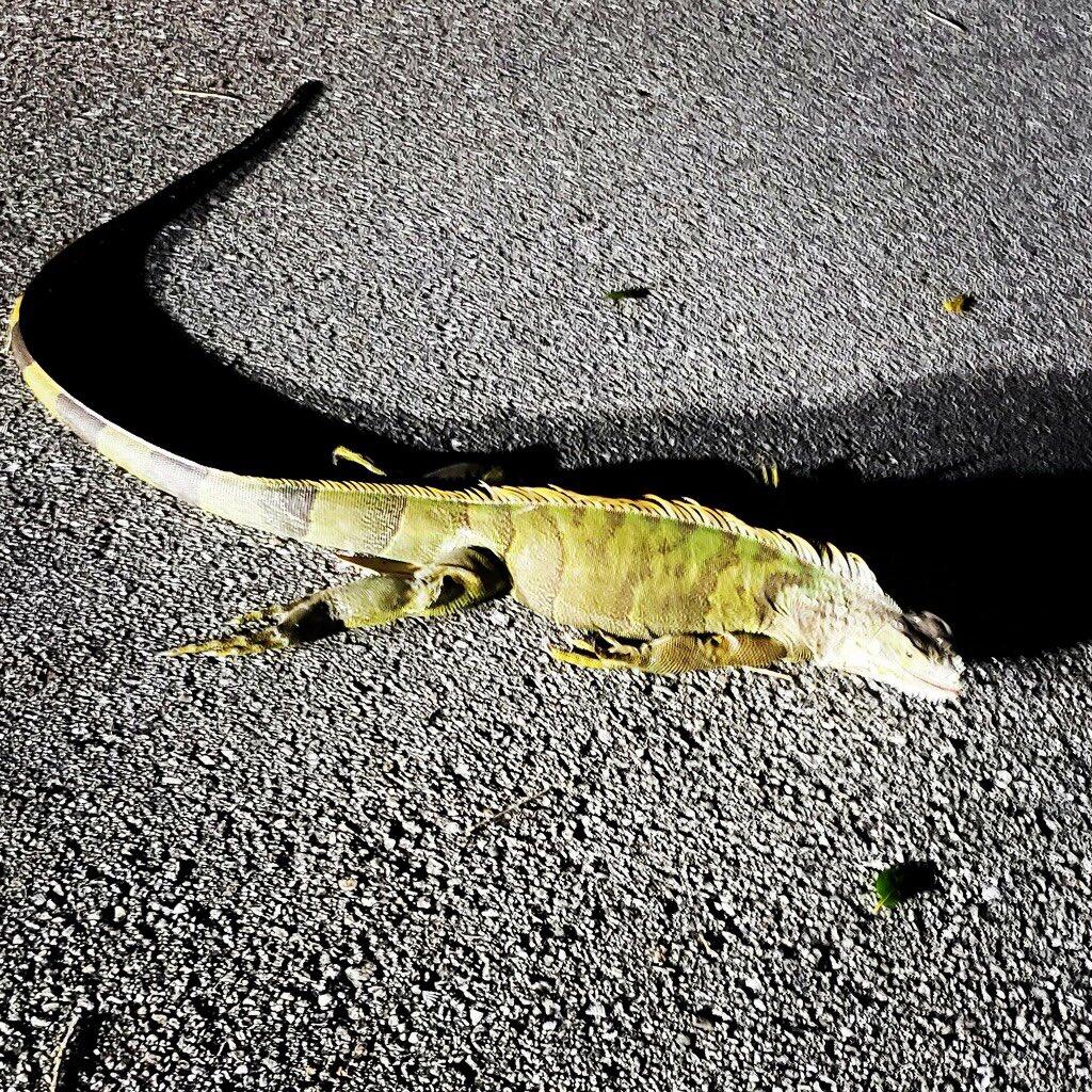 fallen iguana