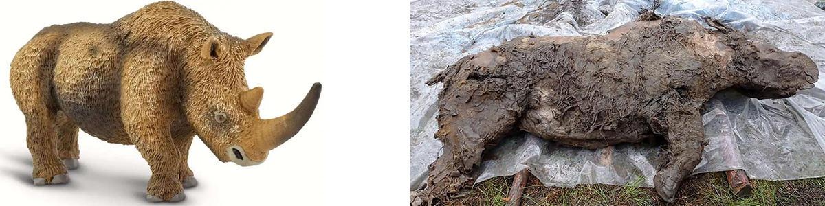 the well preserved remains of a wooly rhino estimated 20 - 50,000 years old