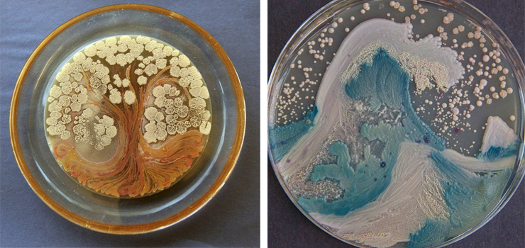 photo of petri dishes with artwork in them from old and bacteria