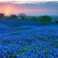 Field of gorgeous bluebonnets