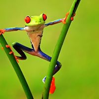Colorful tree frogs wallpaper 1