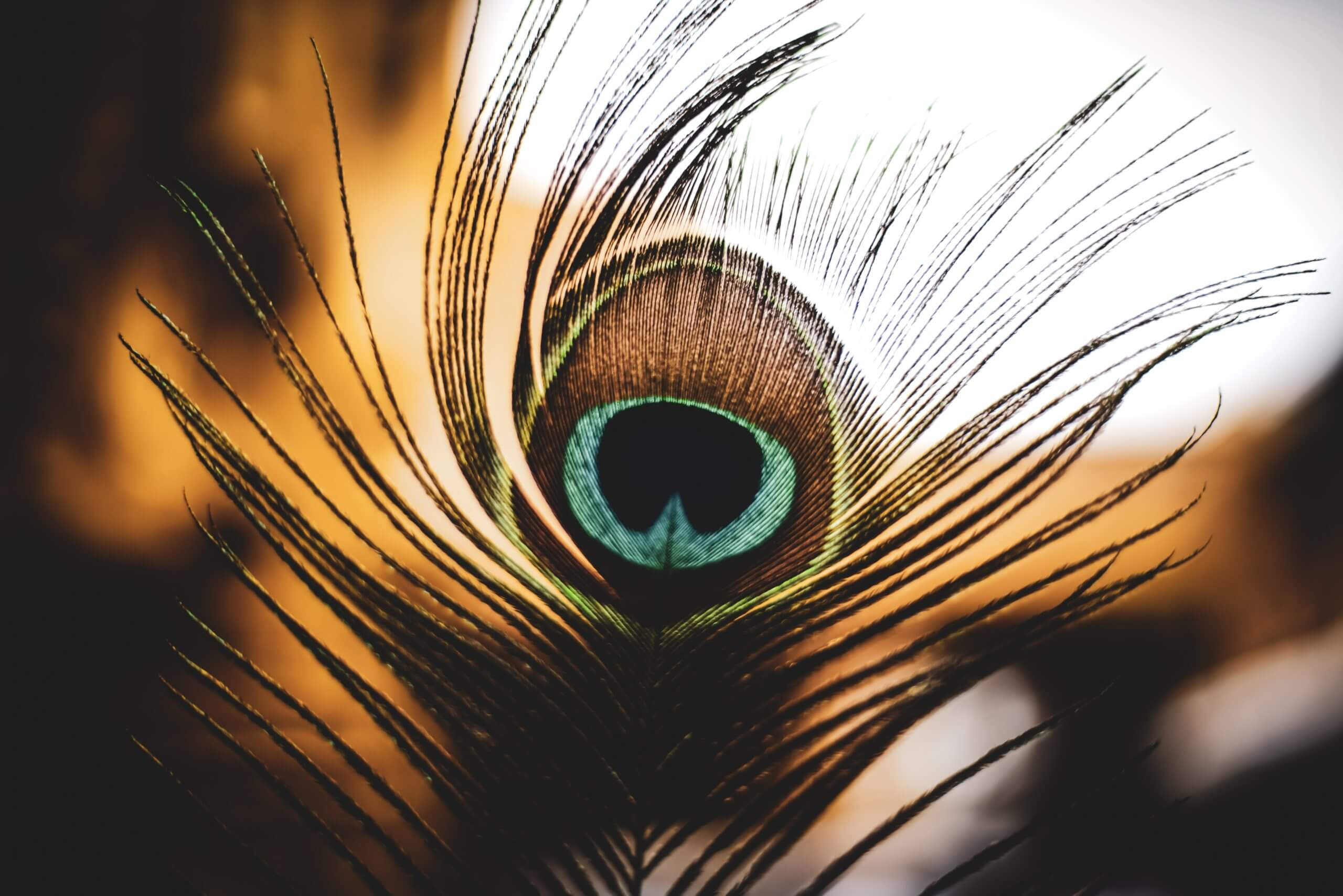 pic peacock feather scaled