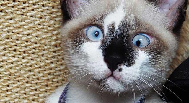 cat-strabismus