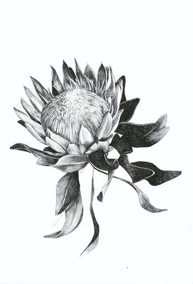 Hand-drawing of the Protea flower for the Dahling Wallpaper