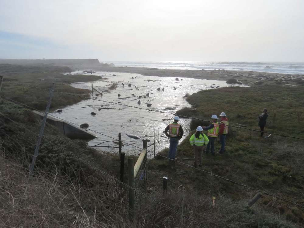 Elephant Seals entered the work area through the culvert in an usually dry season.