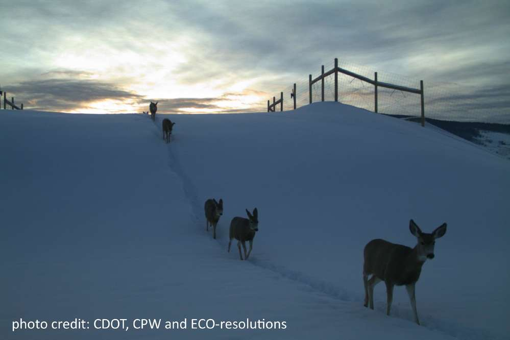 The first year's progress report documented a 90 percent reduction in wildlife-vehicle collisions within the completed project area. In addition, over 7,000 mule deer movements were reported through or over the crossing structures.
