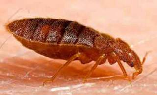 BED BUGS AND TENANTS RESPONSIBILITIES