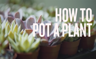 How to repot a plant (VIDEO)