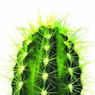 CACTI PLANT (CACTACEAE)