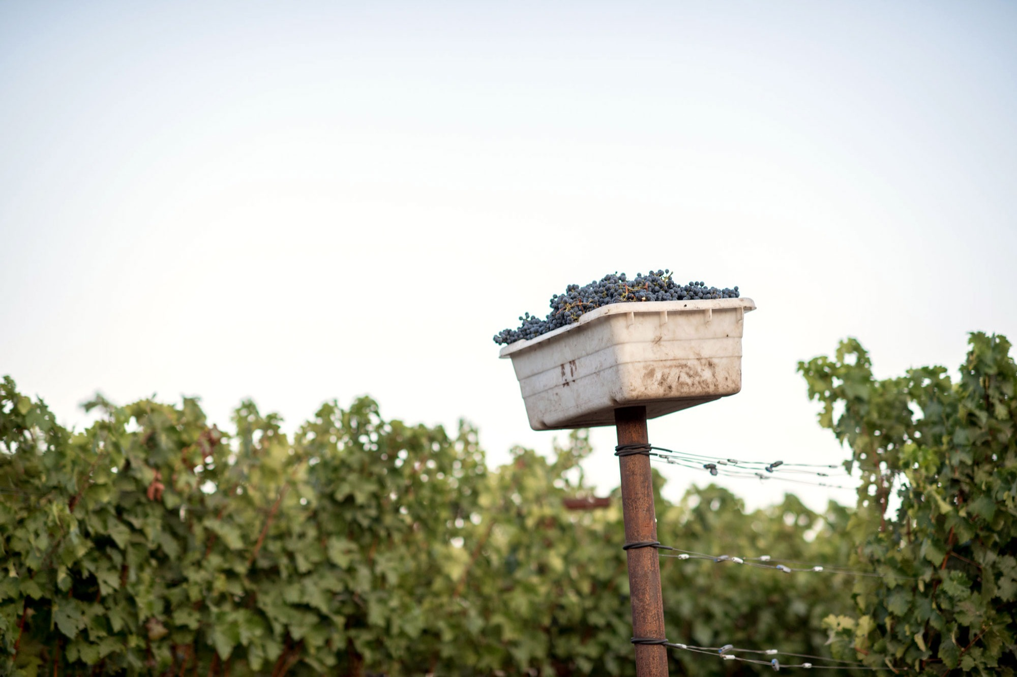 Full grape bin resting on a post at the end of a vine row at Diamond Mountain. Photo by JH Hayes