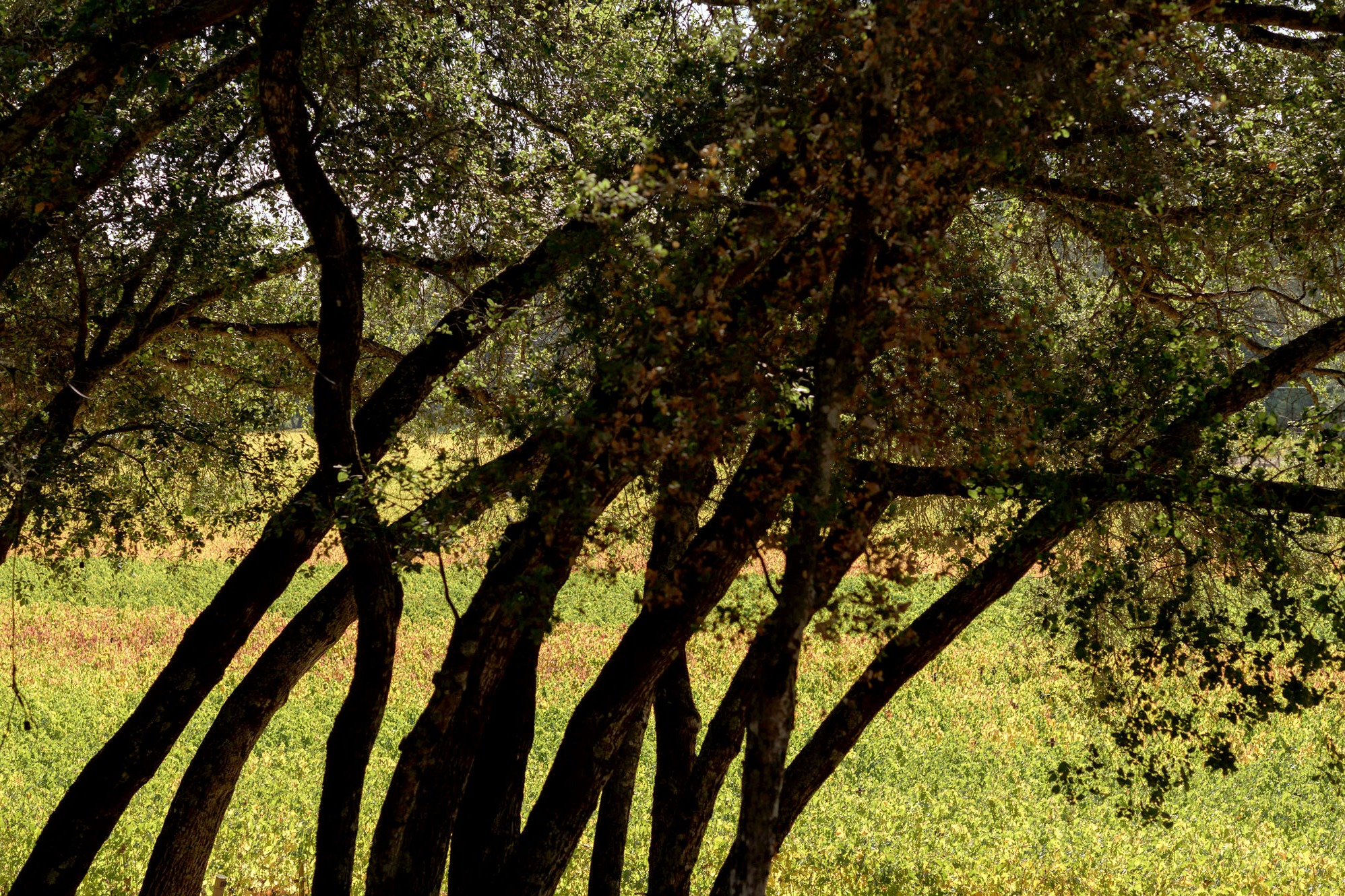 Stand of young live oak trees adjacent to Ecotone Vineyard, photo by JH Hayes